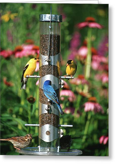 American Goldfinches (carduelis Tristis Greeting Card