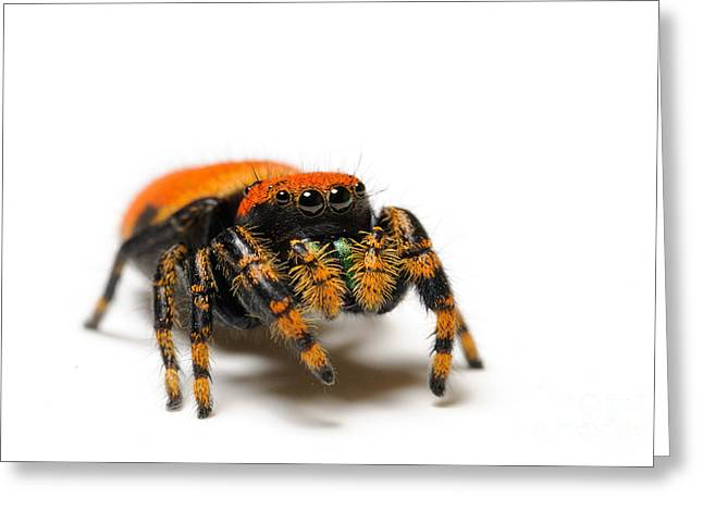Apache Jumping Spider Greeting Card by Scott Linstead
