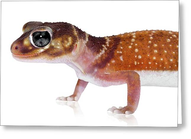 Australian Reptiles On White Greeting Card