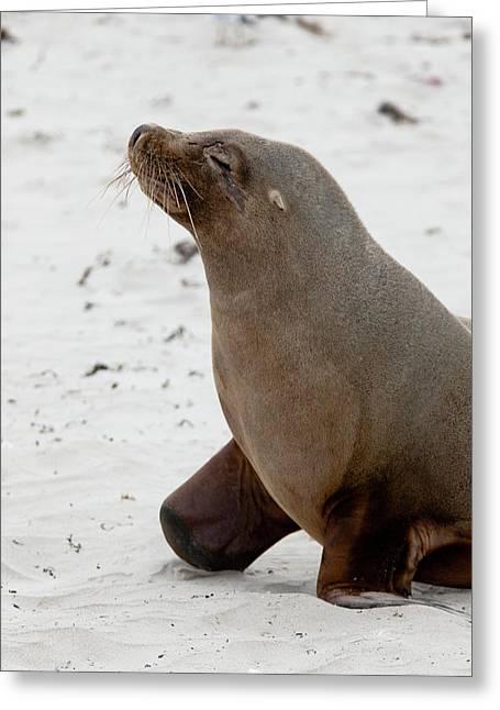 Australian Sea Lion (neophoca Cinerea Greeting Card by Martin Zwick