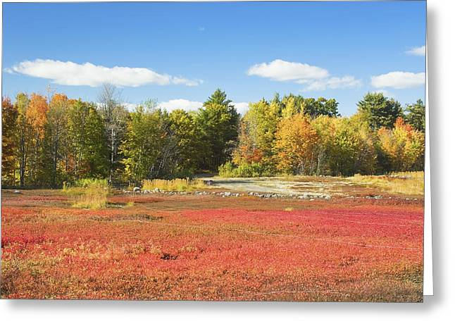 Autumn Colors In Maine Blueberry Field And Forest Greeting Card by Keith Webber Jr