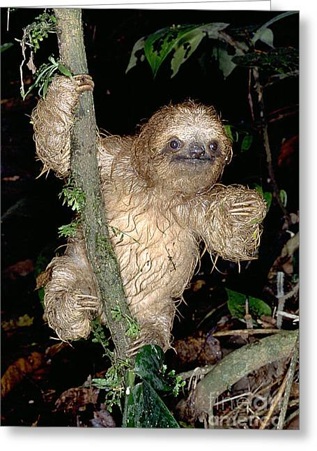 Baby Three-toed Sloth Greeting Card by Gregory G. Dimijian, M.D.