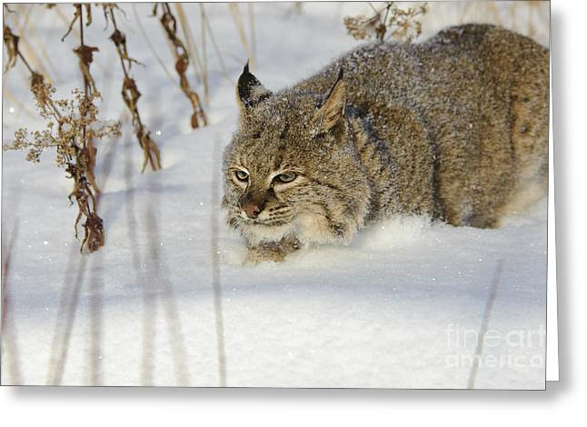 Bobcat Greeting Card by John Shaw