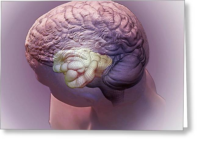 Brain And Hippocampus Greeting Card by Zephyr
