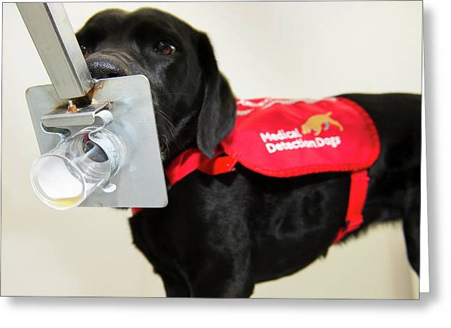 Cancer Detection Dog Training Greeting Card by Louise Murray