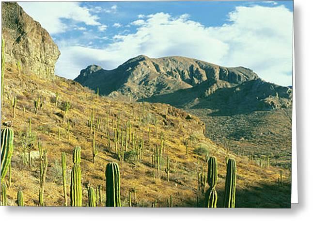 Cardon Cactus Pachycereus Pringlei Greeting Card by Panoramic Images