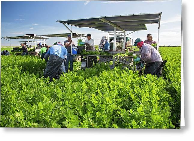 Celery Harvest Greeting Card