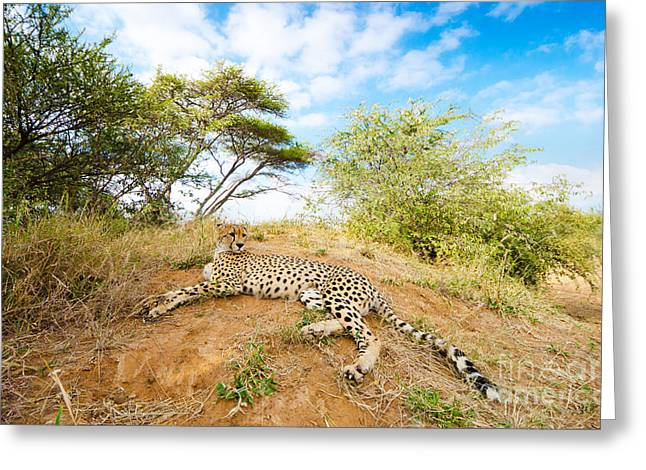 Cheetah - South Africa Greeting Card by Birdimages Photography