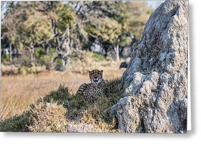 Cheetah Acinonyx Jubatus Resting Greeting Card by Panoramic Images