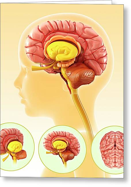 Child's Brain Anatomy Greeting Card by Pixologicstudio/science Photo Library