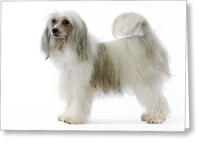 Chinese Crested Dog Greeting Card by Jean-Michel Labat