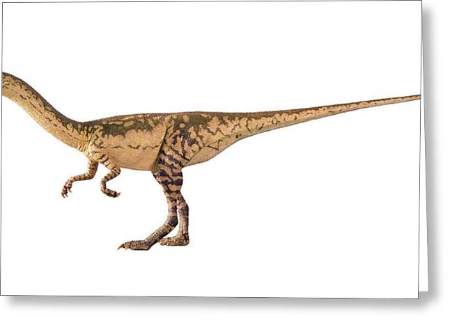 Coelophysis Dinosaur Model Greeting Card by Natural History Museum, London/science Photo Library