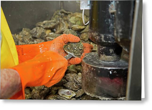 Commercial Oyster Processing Greeting Card