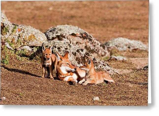 Ethiopian Wolf (canis Simensis Greeting Card by Martin Zwick