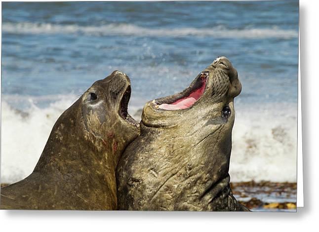 Falkland Islands, Sea Lion Island Greeting Card by Jaynes Gallery