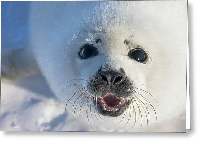 Harp Seal Pup On Ice, Iles De La Greeting Card by Keren Su