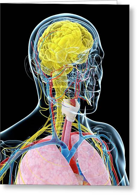Human Brain Anatomy Greeting Card by Sebastian Kaulitzki