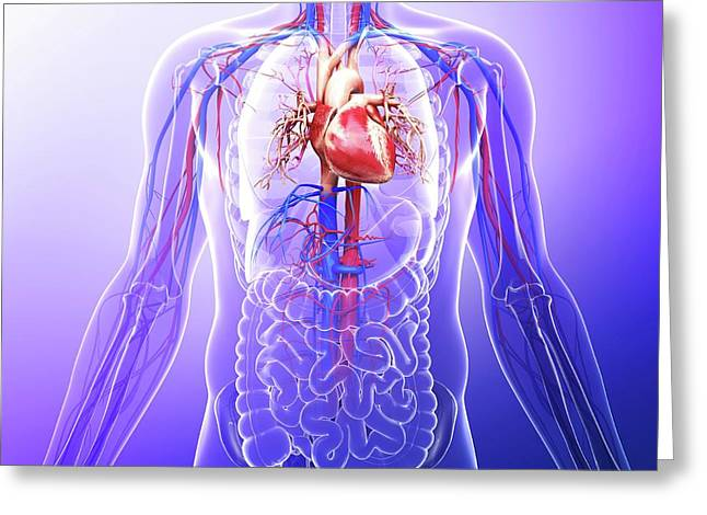 Human Cardiovascular System Greeting Card by Pixologicstudio