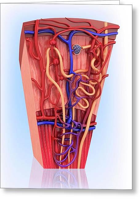 Human Kidney Nephron Greeting Card