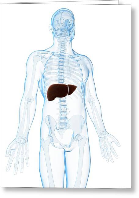 Human Liver Greeting Card