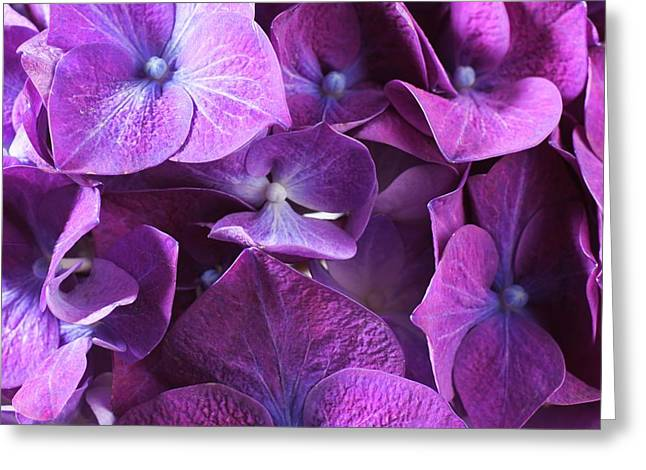 Hydrangea Flower And Soil Acidity Greeting Card by Science Photo Library