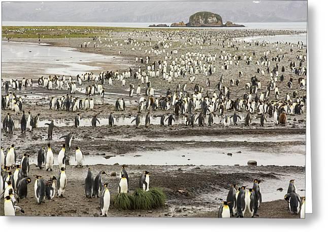 King Penguins On Salisbury Plain Greeting Card by Ashley Cooper