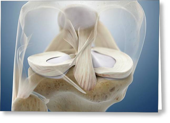 Knee Anatomy Greeting Card by Springer Medizin/science Photo Library