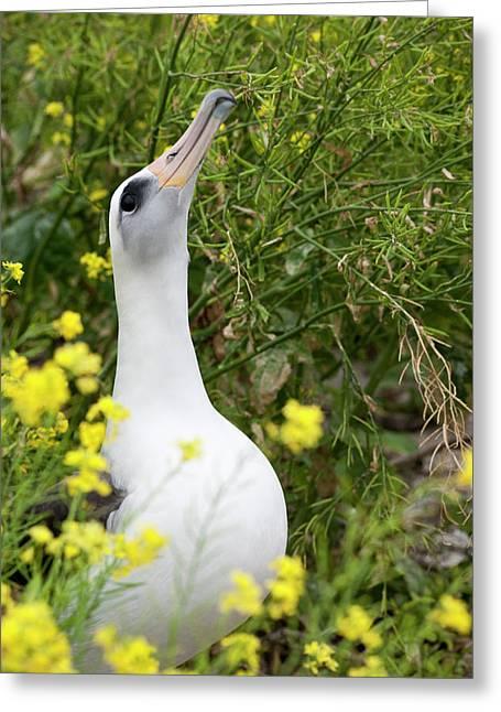 Laysan Albatross (phoebastria Greeting Card