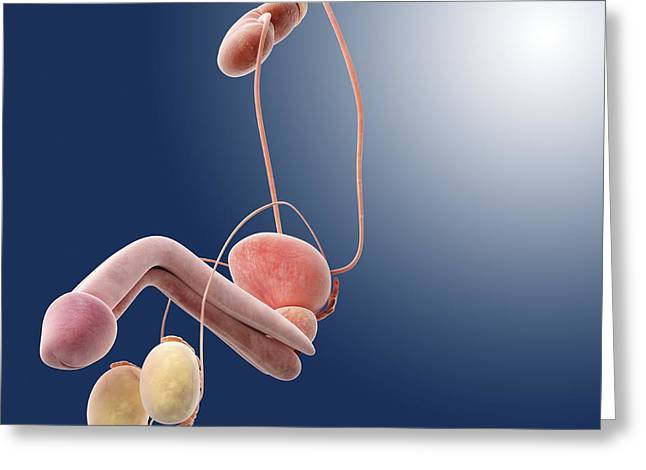 Male Genitourinary System, Artwork Greeting Card by Science Photo Library
