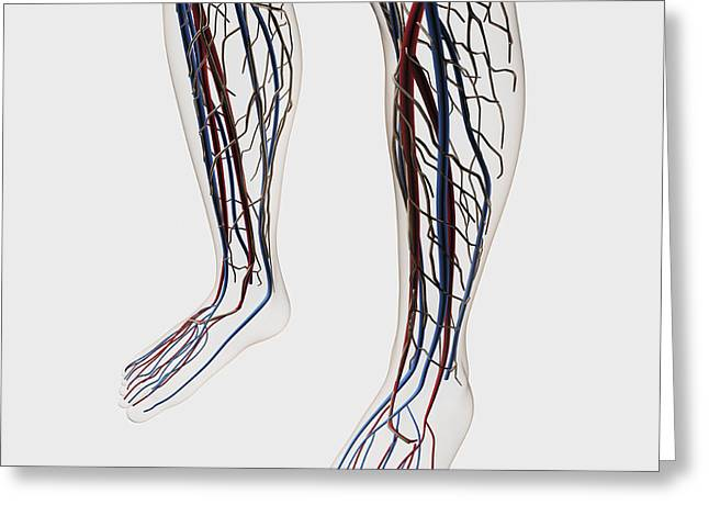 Medical Illustration Of Arteries, Veins Greeting Card by Stocktrek Images