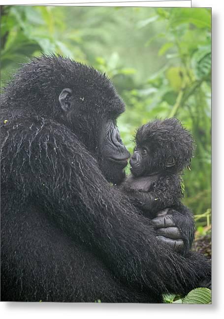 Mountain Gorilla, Gorilla Beringei Greeting Card