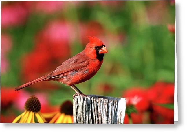 Northern Cardinal (cardinalis Cardinalis Greeting Card by Richard and Susan Day