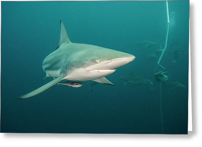 Oceanic Black-tip Shark (carcharhinus Greeting Card by Pete Oxford