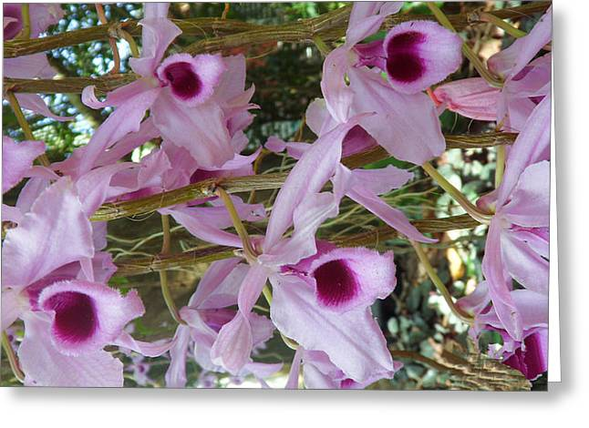 Orchids--dendrobium Greeting Card