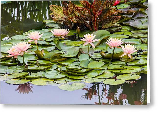 6 Pink Waterlilies Greeting Card by Jill Bell