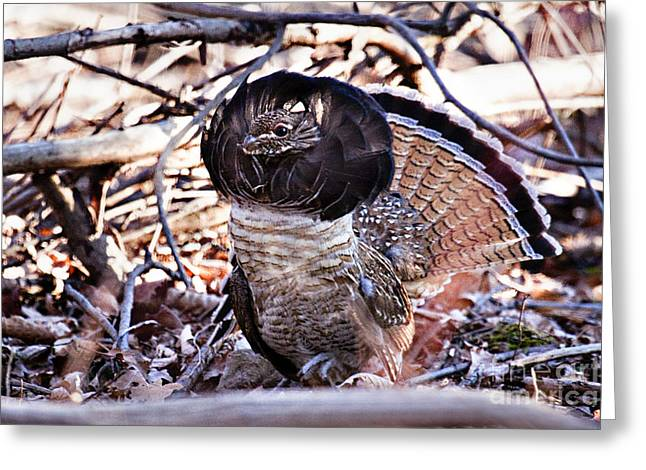 Ruffed Grouse Greeting Card