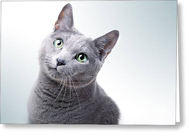 Russian Blue Cat Greeting Card by Nailia Schwarz