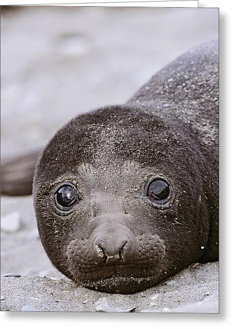Southern Elephant Seal (mirounga Leonina Greeting Card by Martin Zwick
