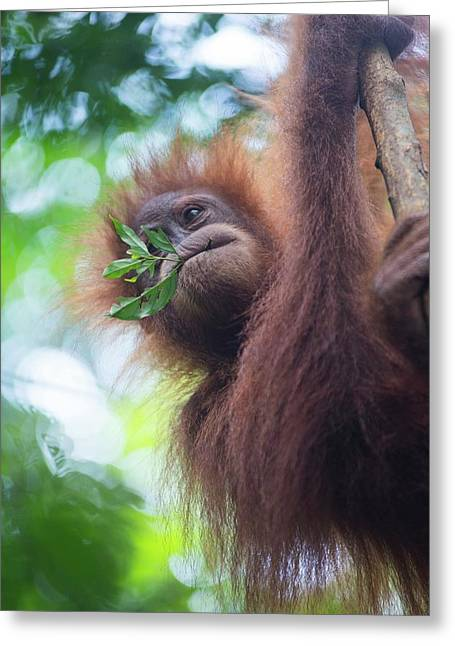 Sumatran Orangutan Greeting Card by Scubazoo