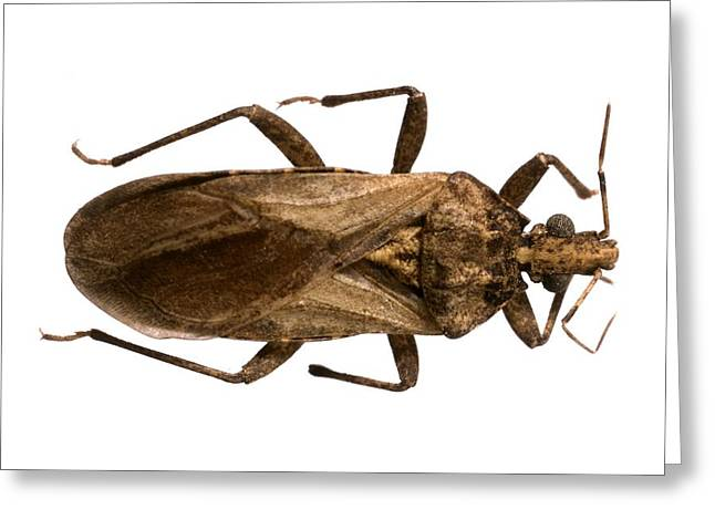 Triatomine Bug Greeting Card by Science Photo Library