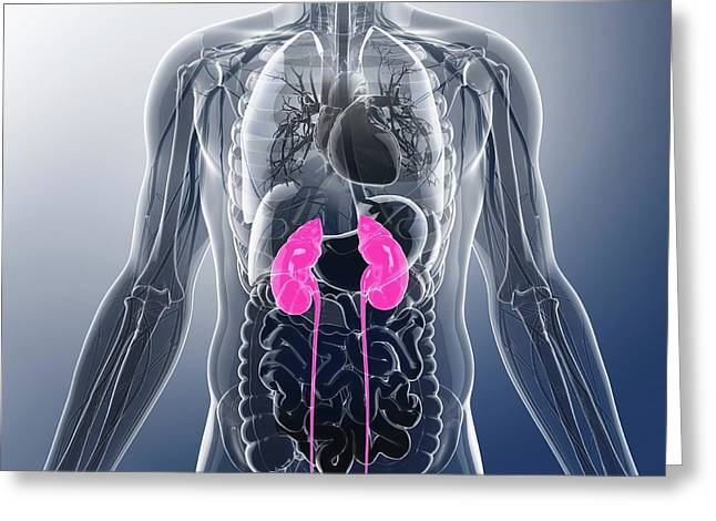 Urinary System Greeting Card