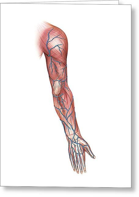 Venous System Of The Upper Limb Greeting Card by Asklepios Medical Atlas