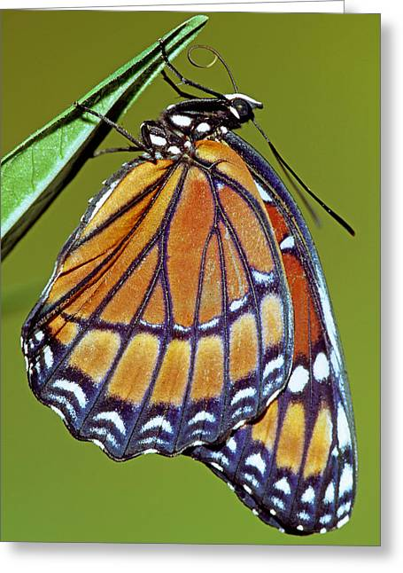 Viceroy Butterfly Greeting Card by Millard H Sharp