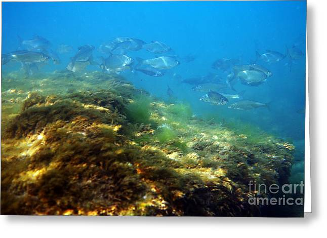White Bream. Greeting Card by Alexandr  Malyshev