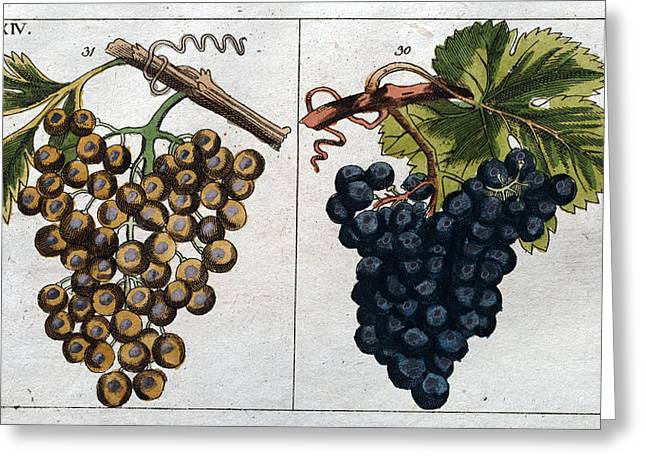 Wine Grapes, Vine, Agriculture, Fruit, Food And Drink Greeting Card
