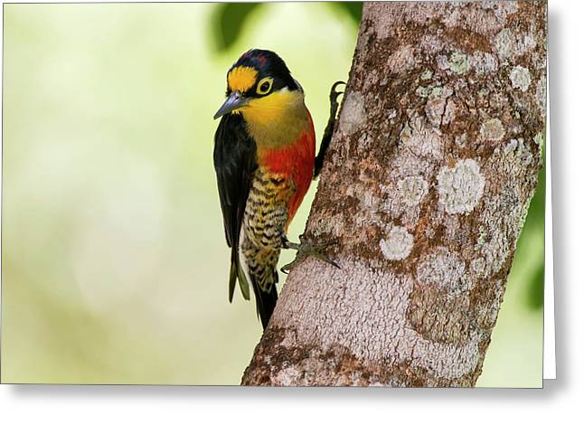 Yellow-fronted Woodpecker  Melanerpes Greeting Card by Leonardo Mer�on