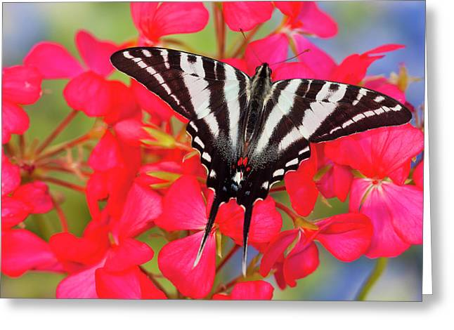 Zebra Swallowtail North American Greeting Card by Darrell Gulin