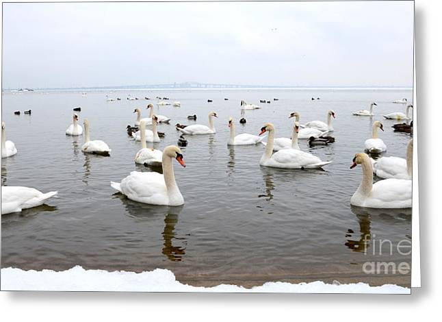 60 Swans A Swimming Greeting Card