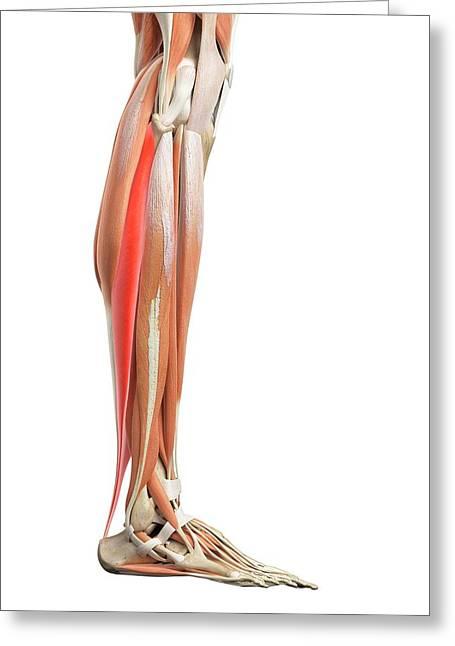 Leg Muscles Greeting Card by Sebastian Kaulitzki/science Photo Library