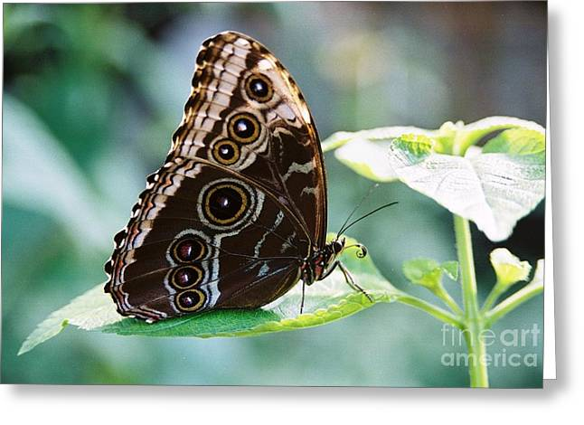 #686 2a Butterfly Film.jpg Greeting Card